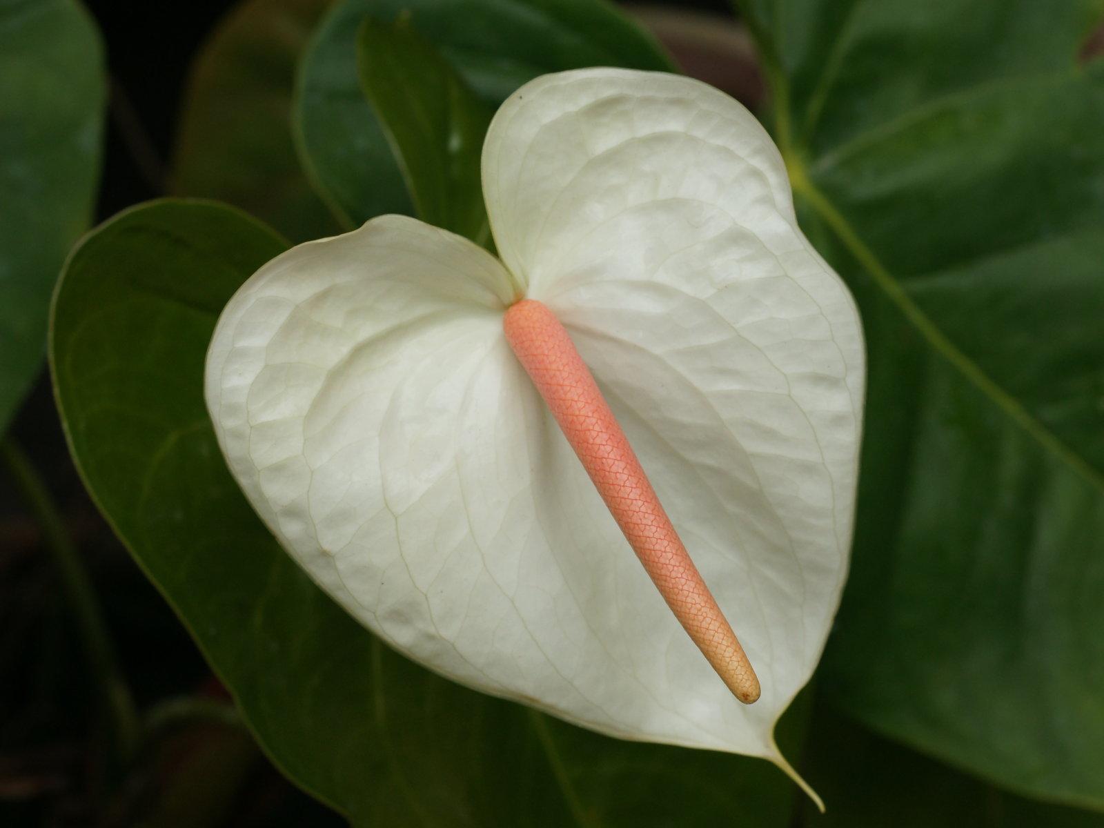 Anthurium Floralife Sdn Bhd