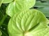 green_anthuriums
