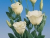 eustoma_lisianthus_white