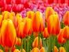new-tulip-2