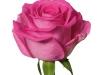 aquazur_sideview_purple_rose
