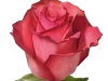 challenger_sideview_pink_rose