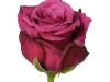 danielost_sideview_b_nl_rose
