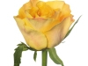 downtown_sideview_bicolour__rose