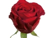 eros_ethiopie_sideview_red_rose