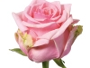 hosanna_sideview_pink_rose