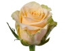 invitation_sideview_nl_rose