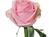 kindness_sideview_pink_rose