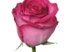 mantra_sideview_rose_sa